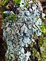 Parmelia sulcata 108306739.jpg