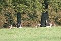 Parnham Deer - geograph.org.uk - 937384.jpg
