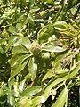 PassifloraCaerulea-bud-100k.jpg
