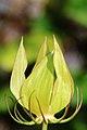 Passiflora biflora 2.JPG