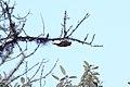 Pearled Treerunner (Margarornis squamiger) (4856410475).jpg
