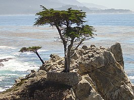 Pebble Beach tree.jpg