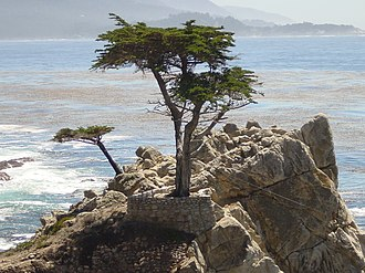 Potentilla hickmanii - The famous Lone Cypress tree, located 2 km. south of the last Potentilla hickmanii population in Monterey County