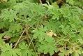 Pelargonium graveolens 1zz.jpg