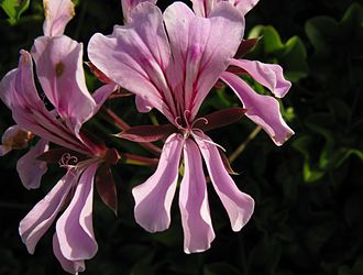 Petal - Pelargonium peltatum , the Ivy-leaved Pelargonium : its floral structure is almost identical to that of geraniums, but it is conspicuously zygomorphic