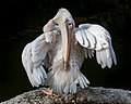 Pelecanus onocrotalus cleaning its feathers at sunset.jpg