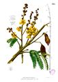 Peltophorum pterocarpum Blanco2.335.png