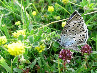 Large blue - A large blue on Thymus praecox