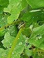 Penzance - Large White larva.jpg