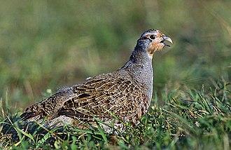 Grey partridge - Image: Perdix perdix (Marek Szczepanek)