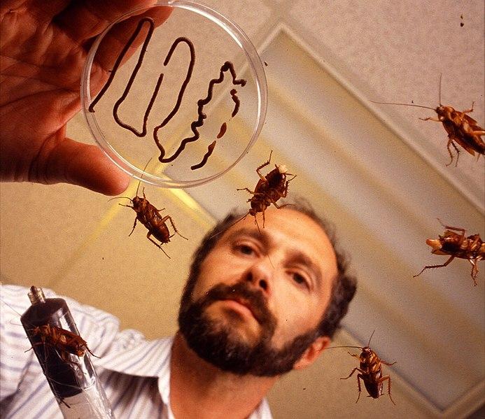 File:Periplaneta americana USDA ARS cutted.jpg