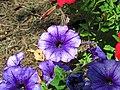 Petunia sp. (Middletown, Ohio, USA) 3 (49113855972).jpg