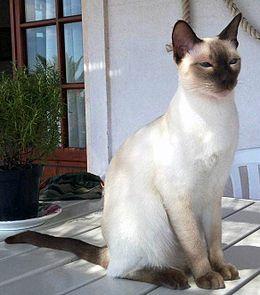 PhaithaiChic Thai cat