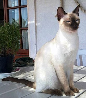 Point coloration - A Thai cat with point coloration