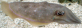 PharoahCuttlefish-SideView-MonteraryAquarium-April2-07.png