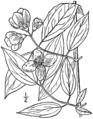 Philadelphus inodorus drawing 02.png