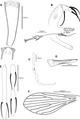 Phlebotomus (Anaphlebotomus) vaomalalae male Figure 1 full plate.tif