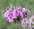 Phlomis tuberosa flowers.jpg