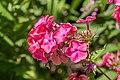 Phlox paniculata 'Elisabeth Arden' in Jardin des 5 sens (1).jpg