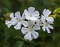 Phlox paniculata 'Fujiyama' (d.j.b.) 01.jpg