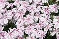 Phlox subulata Candy Stripe 6zz.jpg
