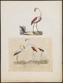 Phoenicopterus antiquorum - 1700-1880 - Print - Iconographia Zoologica - Special Collections University of Amsterdam - UBA01 IZ17600001.tif