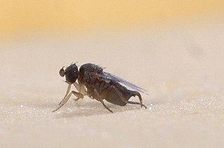 Phoridae Family of flies