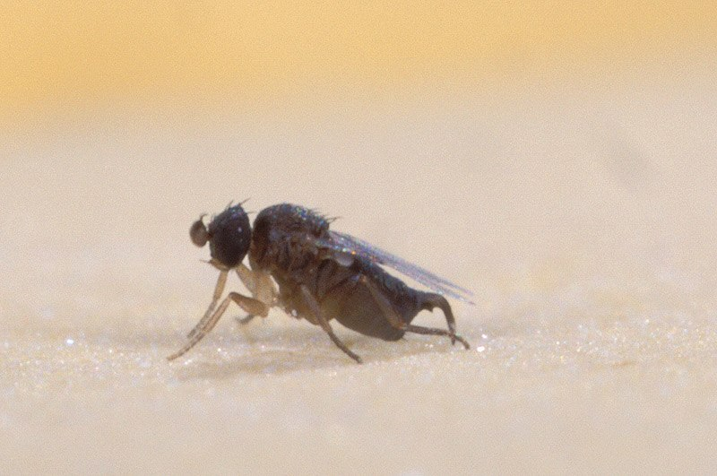 Phorid fly2