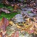 Photo of the week - Box turtle (WV) (10557090064).jpg