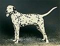 Photograph of a Dalmation - NARA - 34929532.jpg
