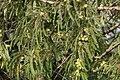 Phyllanthus emblica L. (49546283213).jpg