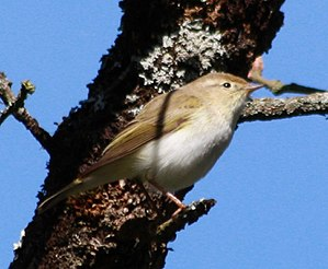 Phylloscopus bonelli in the wild.jpg