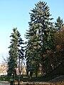 Picea pungens Zeromskiego 1.JPG