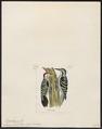 Picus analis - 1820-1860 - Print - Iconographia Zoologica - Special Collections University of Amsterdam - UBA01 IZ18700069.tif