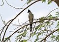 Pied Cuckoo Clamator jacobinus adult by Dr. Raju Kasambe 01.jpg