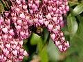 Pieris japonica - Lavendelheide, mit Bombus terrestris - Dunkle Erdhummel (2).jpg