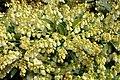 Pieris japonica Cavatine 1zz.jpg