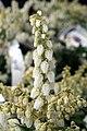 Pieris japonica var. yakushimanum Cavatine 1zz.jpg