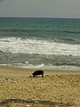 Pig enjoying the beach at Cape Coast.JPG