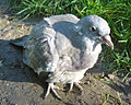 Pigeon close up.jpg