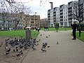 Pigeons in the park - geograph.org.uk - 1278337.jpg