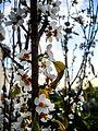 PikiWiki Israel 30941 Plum Blossoms.jpg