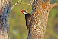 Pileated Woodpecker Ash RWD1.jpg
