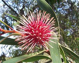 Pincushion hakea03.jpg