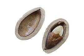 Pine Nuts Macro.jpg