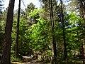 Pinete di Monte Cocuzzo - panoramio.jpg