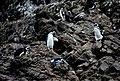 Pingüinos en las pingüineras de Puñihuil.jpg