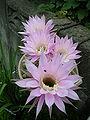 PinkCactusFlower 1.JPG