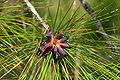 Pinus elliottii pollen cones Lake Wales Ridge.jpg