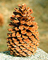 Pinus jeffreyi cone Big Bear Lake.jpg